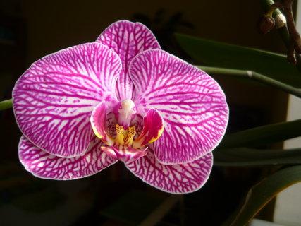 FOTKA - znovu orchidej 6