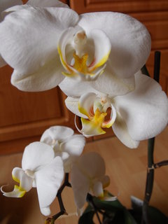 FOTKA - Bílá kráska