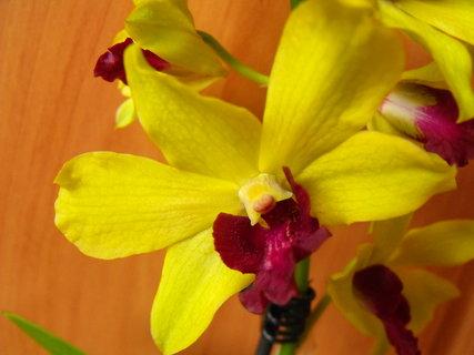 FOTKA - Květ orchideje