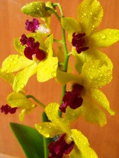 FOTKA - Orosená orchidej