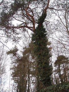 FOTKA - porostlá borovice
