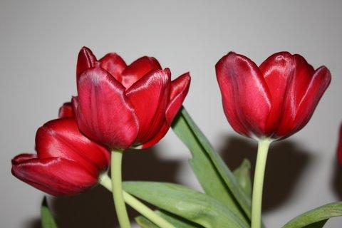 FOTKA - Tulipán XI.