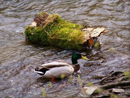 FOTKA - v rybníce není voda, tak hledá potravu v potoce...
