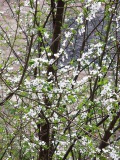 FOTKA - kvetoucí stromek