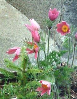 FOTKA - růžový koniklec