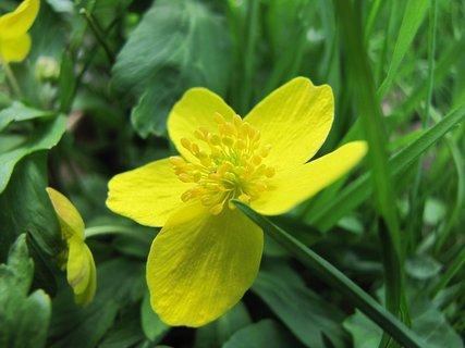 FOTKA - Orsej jarní - květ zblízka
