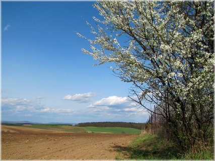 FOTKA - Keř s bílými květy a pole