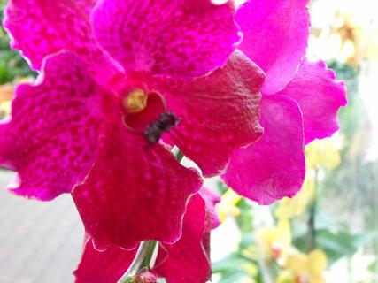 FOTKA - Orchidej (není má)