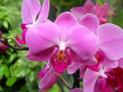 FOTKA - Orchidej Phalaenopsis