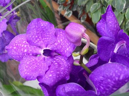 FOTKA - Orchidejka Vanda