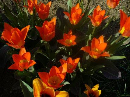 FOTKA - Už kvetou  tulipány