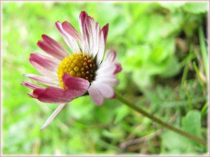 FOTKA - Květ sedmikrásy