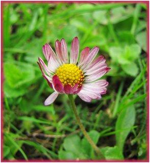 FOTKA - Bíločervená sedmikráska