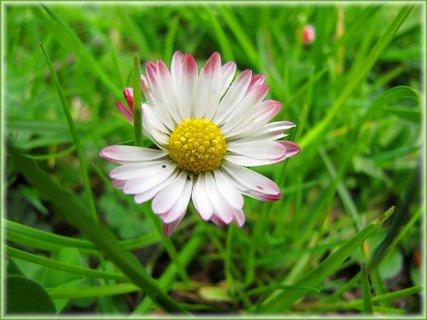 FOTKA - Květ sedmikrásky v trávě