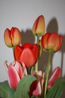 FOTKA - Tulipány XIV.