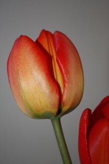 FOTKA - Tulipány XV.