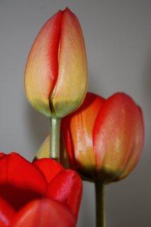 FOTKA - Tulipány XVI.