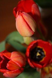 FOTKA - Tulipány XX.