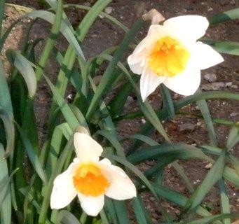 FOTKA - bílé narcisky se žlutavou korunkou