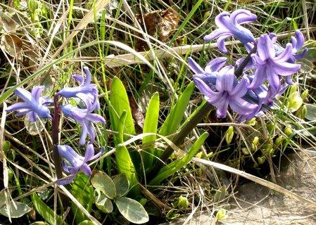 FOTKA - fialový hyacint