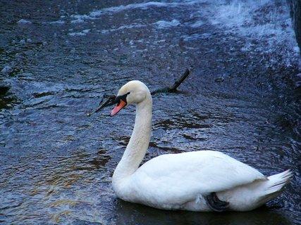 FOTKA - labutěnka ve vaně v rybníku Šeberák...