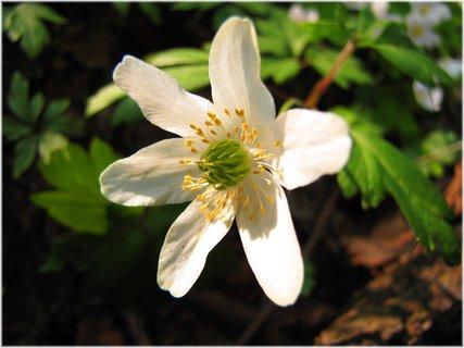 FOTKA - Detail květu sasanky