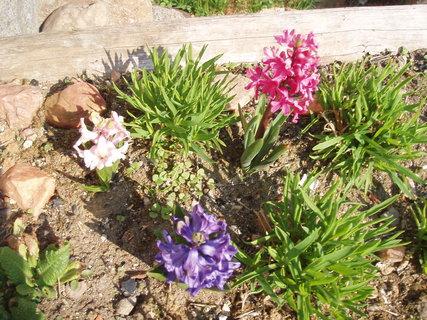 FOTKA - 3.  Hyacinty