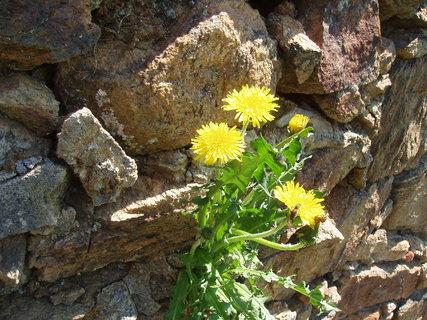 FOTKA - Pampeliška v kamenné zdi