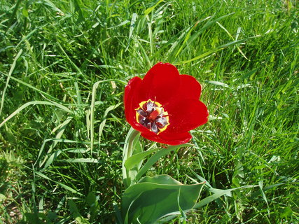 FOTKA - Tulipán - rozkvetlý