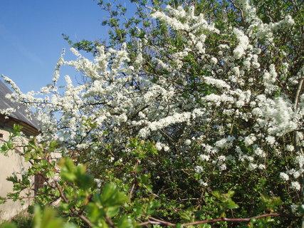 FOTKA - Trnka - květy