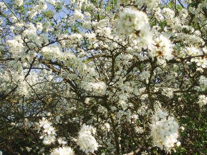 FOTKA - Trnka - květy .