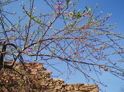 FOTKA - Broskev - květy