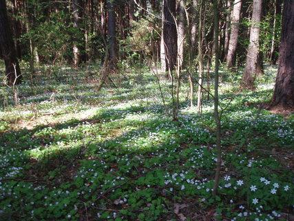 FOTKA - kv�t� v lese