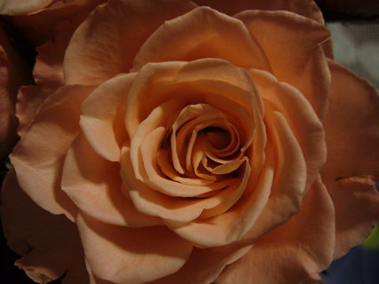 FOTKA - Růže zblízka