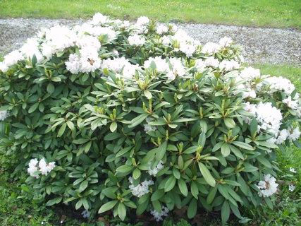 FOTKA - Bílý rododendron