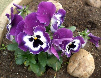 FOTKA - fialovobílé macešky