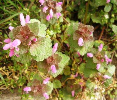 FOTKA - Lamium Purpureum