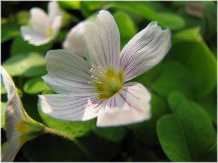 FOTKA - Detail květu šťovíku