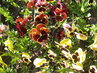 Krásně kvetoucí macešky