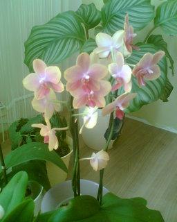 FOTKA - phaleanopsis hybrid I.