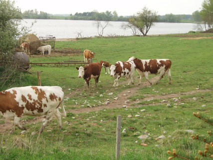 FOTKA - podojené  kravičkyběží hned na pastvu