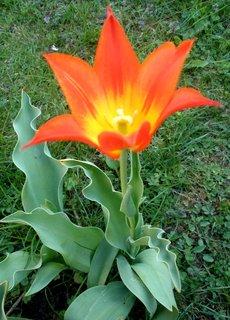 FOTKA - dvoubarevný tulipán