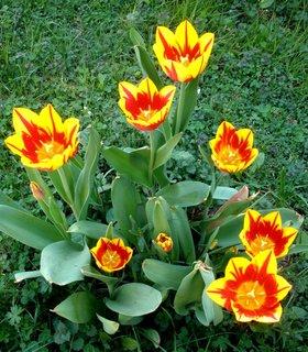 FOTKA - Žlutočervené tulipány
