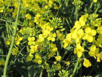 FOTKA - Záběr se žlutou řepkou a včelkou