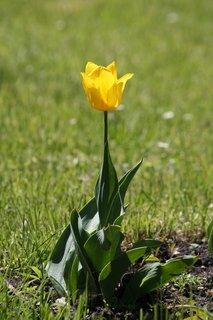 FOTKA - Tulipán XXV.