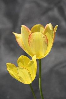 FOTKA - Tulipány XXVII.