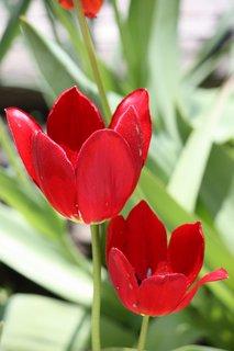 FOTKA - Tulipány XXVIII.