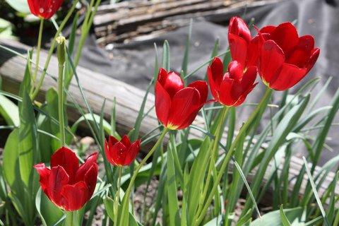 FOTKA - Tulipány XXIX.