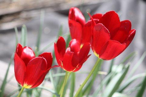 FOTKA - Tulipány XXX.