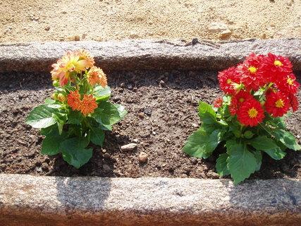 FOTKA - Dahlia (Jiřinka) drobnokvětá